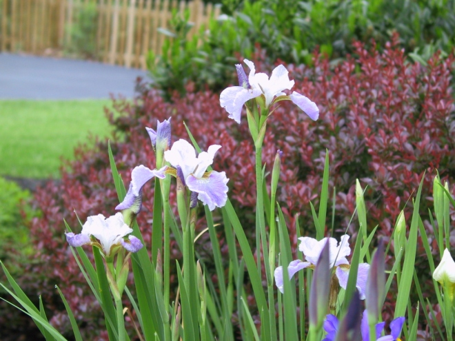 iris-in-bloom-may-20081