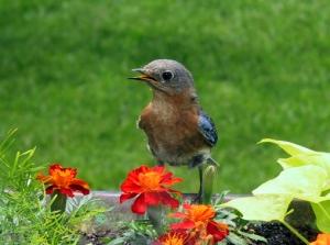 madame-bluebird